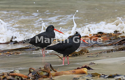 Two Dark morph Variable Oystercatchers (Black Oystercatcher) (Haematopus unicolor) with kelp and spray on Butterfield Beach, ...