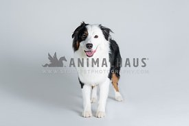 full body standing Australian Shepherd on grey background