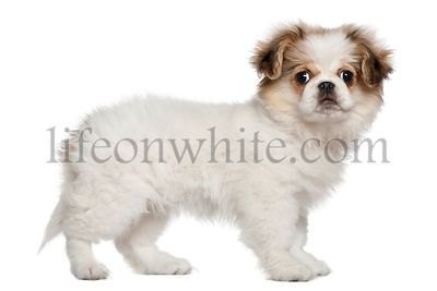 Pekingese puppy, 3 months old, standing
