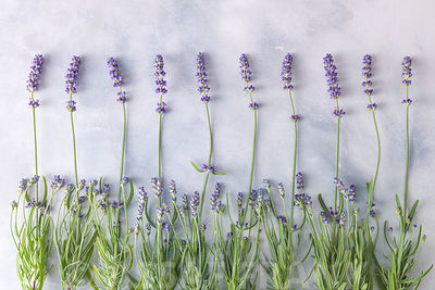 Lavenders on painted background