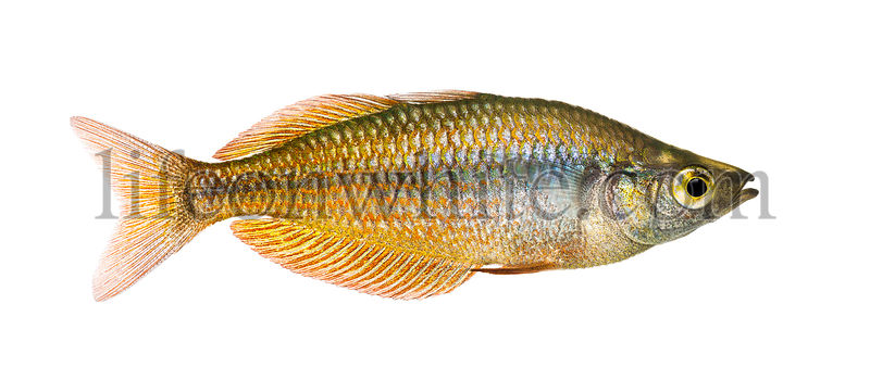 Side view of an Eastern Rainbowfish, Melanotaenia splendida splendida, isolated on white