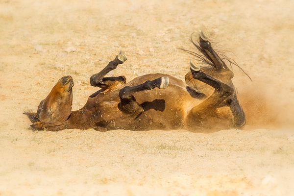 Feral horse rolling in the dust of the Namib desert, southern Namibia.