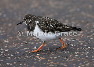 Ruddy Turnstone (Arenaria interpres) in winter plumage striding purposefully across tarmac, Sidmouth, Devon, England