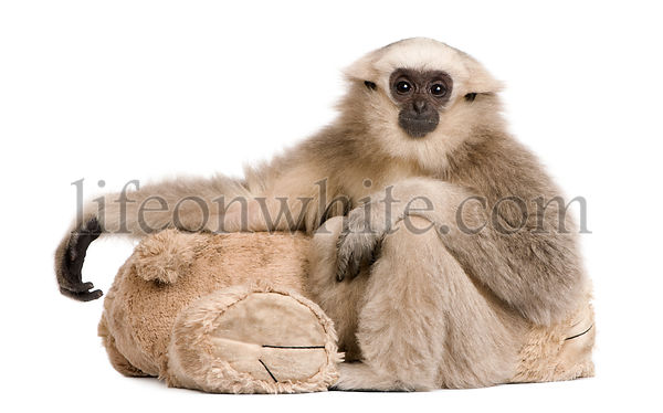 Young Pileated Gibbon, Hylobates Pileatus, 1 year old, sitting with teddy bear in front of white background