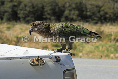 Adult Kea (Nestor notabilis) hitching a ride on a pick-up truck, Te Anau-Milford Highway, Fiordland National Park, South Isla...
