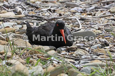 Dark morph Variable Oystercatcher (Black Oystercatcher) (Haematopus unicolor) on the nest, Ship Cove (Meretoto), Queen Charlo...