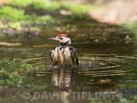 Great spotted Woodpecker Dendrocopos major juvenile bathing at woodland pool Norfolk