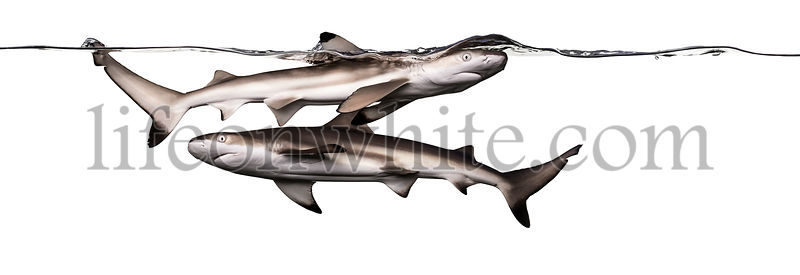 Blacktip reef sharks swimming together at the surface of the water, Carcharhinus melanopterus, isolated on white