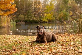 A chocolate lab in front of an autumn pond
