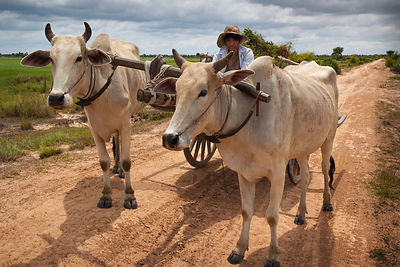 Zebu ox carts are a means of transportation of people and goods in the rural countryside of Cambodia.