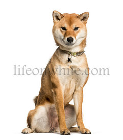 Shiba Inu wearing a collar, sitting on a white background