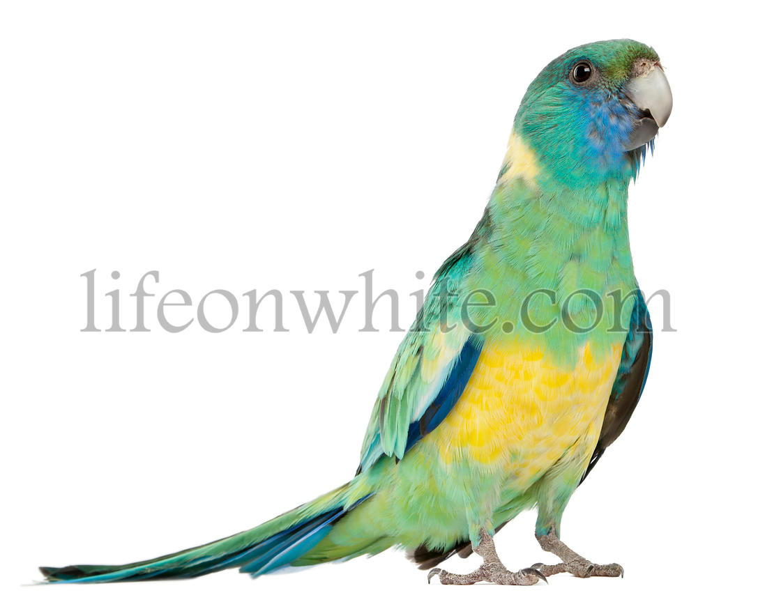Male Australian Ringneck, Barnardius Barnardi Macgillivrayi, 2 years old, standing in front of white background