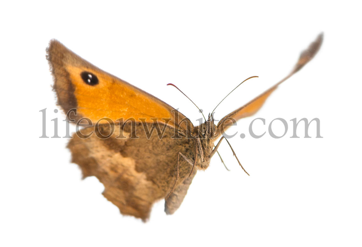 Flying Gatekeeper, Pyronia tithonus, isolated on white