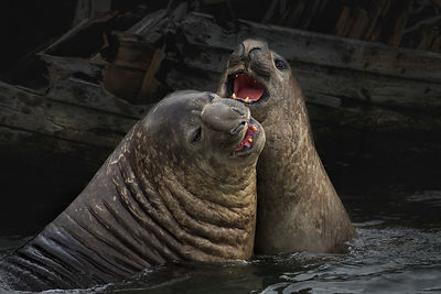 Playfighting Elephant Seals