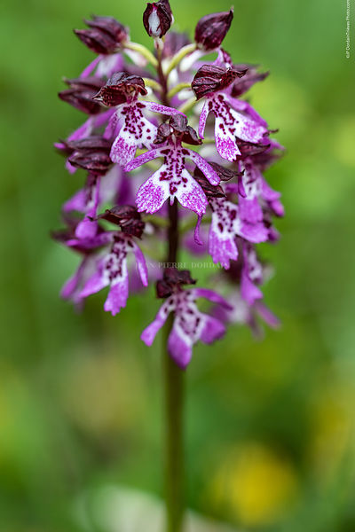 orchis_pourpre-68
