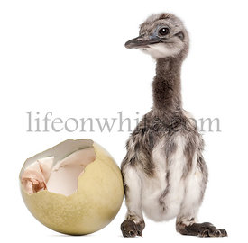 Darwin\\'s Rhea with hatched egg, Rhea pennata, also known as the Lesser Rhea, 1 week old, in front of white background