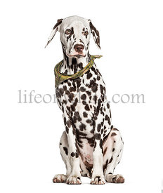 Brown and white Dalmatian sitting, isolated on white