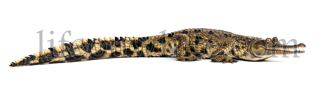 West African slender-snouted crocodile, 3 years old, isolated