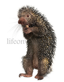Brazilian Porcupine, Coendou prehensilis, eating peanut in front of white background