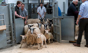 Selling sheep and lambs at an auction mart, Cumbria, UK.