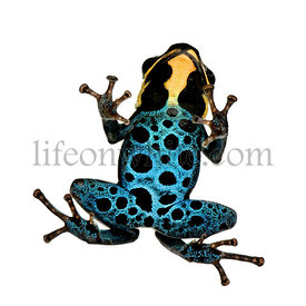 Poison Dart Frog - ranitomeya amazonica or Dendrobates amazonicu in front of a white background