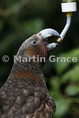 North Island Kaka (Nestor meridionalis ssp septentrionalis) drinking from a bottle, Zealandia, Wellington, New Zealand
