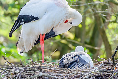 Stork with chick in nest.
