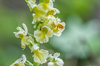 orchis pallens, chichilianne