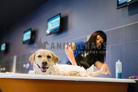 A yellow lab enjoying being bathed by the groomer