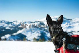 Black dog hiking in winter looking at the mountain views