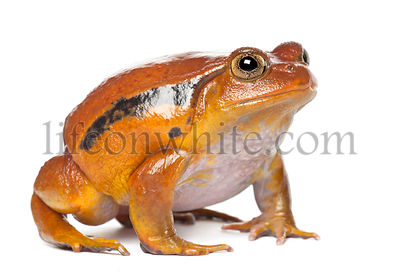 False Tomato Frog, Dyscophus guineti, against white background