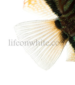 Close-up of a Blue snakeskin discus\' caudal fin, Symphysodon aequifasciatus, isolated on white