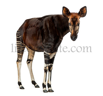 Okapi standing, looking at the camera, Okapia johnstoni, isolated on white