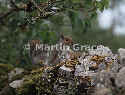 Two Grey Squirrels (Sciurus carolinensis) close to each other on a mossy dry-stone limestone garden wall, Lake District Natio...