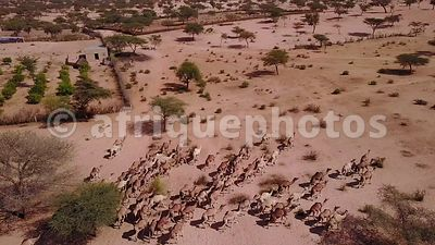 Camels herd near Lompoul, Senegal
