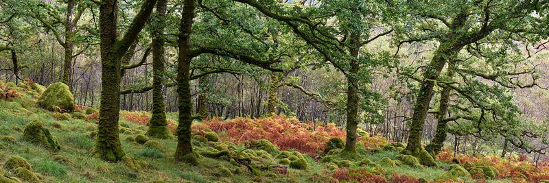 Prints & Stock Image - Temperate Oak, Sessile petraea, woodland at Ariundle National Nature Reserve, Strontian, Sunart, Locha...