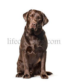 Labrador Retriever , 2, 5 years old, sitting against white background