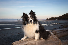 Portrait of little dog sitting on log at the beach at sunset