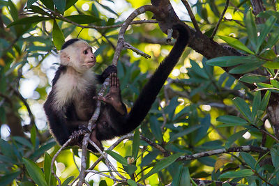 White-faced Capuchin 3