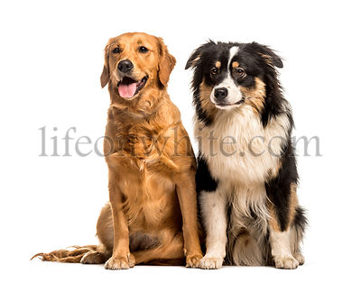Golden Retriever & Australian Shepherd sitting against white background