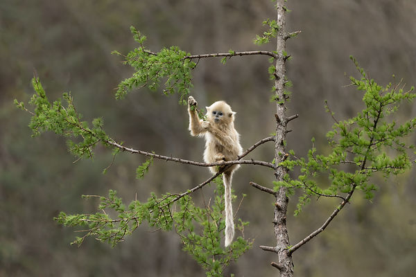 Golden Snub-Nosed Monkey II