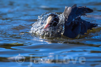 Coot splashing water in lake