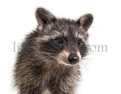 Cute young raccoon portrait, close-up, isolated