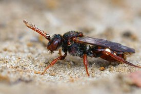 Closeup of a female of the the Large Bear-clawed Nomad Bee, Nomada albogutata in the sand