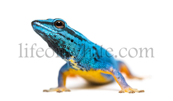Electric blue gecko looking at the camera, Lygodactylus williamsi, isolated