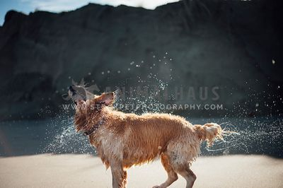 Golden Retriever shaking off water at the beach