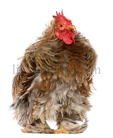 Curly feathered rooster Pekin, 1 years old, standing in front of white background