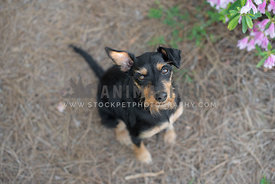 close up of black and tan terrier mix sitting and looking up at camera