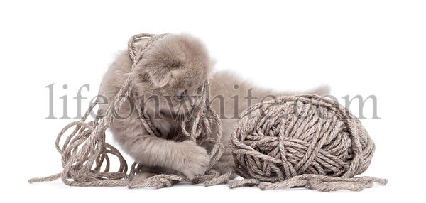 Highland fold kitten playing with a wool ball, isolated on white