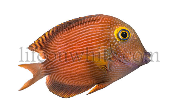 Side view of a Kole Tang, Ctenochaetus strigosus, isolated on white